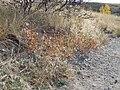 Helianthus pauciflorus (H. rigidus) (5107230171).jpg