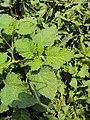 Heliotropium indicum 07a.JPG