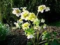 Helleborus niger hybrid - Lenten Rose - geograph.org.uk - 1205522.jpg
