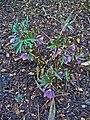 Helleborus purpurascens 001.JPG