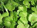 Hepatica transsilvanica leaves.jpg
