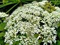 Heracleum mantegazzianum 110728640.jpg