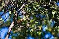 Hermit thrush (37299413750).jpg
