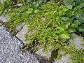 Herniaria glabra sl17.jpg