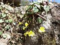 Herpetospermum pedunculosum Nepal.JPG