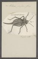Hetrodes - Print - Iconographia Zoologica - Special Collections University of Amsterdam - UBAINV0274 066 01 0011.tif