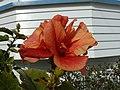 Hibiscus (9404041009).jpg
