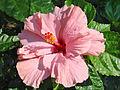 Hibiscus (Hoi An) (4411159484).jpg