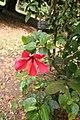 Hibiscus Rosa Sinensis 04.jpg