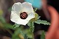 Hibiscus ludwigii 3.JPG