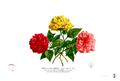 Hibiscus rosa-sinensis Blanco2.270.png