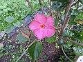 Hibiscus rosa sinensis hybrid-36-hanuman temple-muluvi-yercaud-salem-India.jpg