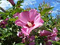 Hibiscus syriacus 2018-07-08 3732.jpg