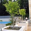 Hibiscus syriacus standard tree.jpg