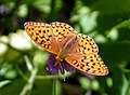 High Brown Fritillary. Argynnis adippe. Male 5 (15970865919).jpg