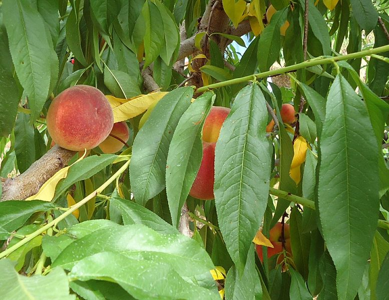 File:Hillview Farms peaches on a peach tree.jpg