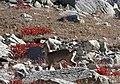Himalayan blue sheep Pseudois nayaur WTK20150921-DSC00161.jpg