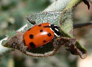 Hippodamia (genus) - Hippodamia convergens