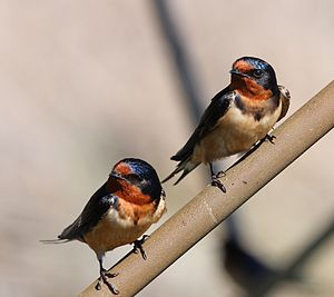 Point Pelee National Park - Barn swallows (Hirundo rustica) at Point Peele National Park in May 2010