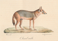 Histoire naturelle des mammifères, t. 2 (1824) Canis aureus.png