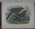 History of the birds of NZ 1st ed p152-2.jpg