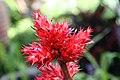 Hohenbergia stellata 3zz.jpg