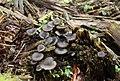 Holz-Nabeling Arrhenia epichysium 1.jpg
