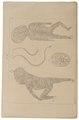 Homo sapiens - haarimplant - 1700-1880 - Print - Iconographia Zoologica - Special Collections University of Amsterdam - UBA01 IZ19600077.tif