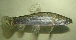 Um jovem macho da espécie Hoplias malabaricus