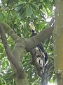Hornbills of Assam.jpg