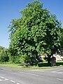 Horse Chestnuts. Little Kineton - geograph.org.uk - 729800.jpg