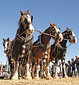 Horse ploughing, Canterbury, New Zealand; April 2010.jpg