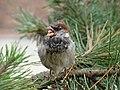 House Sparrow-Mindaugas Urbonas-7.jpg