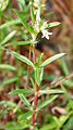 Houstonia nigricans in Hyderabad, AP W IMG 9902.jpg