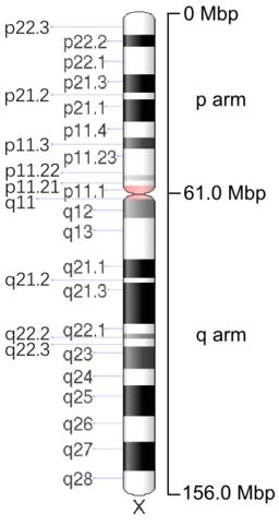 Human chromosome X - 550 bphs