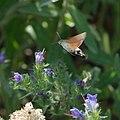 Hummingbird hawk moth (Macroglossum stellatarum) (28200604642).jpg