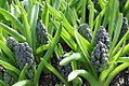 Hyacinthus orientalis 1zz.jpg