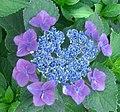 Hydrangea macrophylla forma normalis 01.jpg