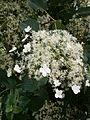 Hydrangea petiolaris inflorescence.JPG