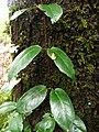 Hydrangea serratifolia (Inao Vásquez) 001.jpg