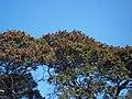 Ibirapita tree with ripe fruits.jpg