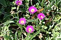 Ice Plant naturalized at Point Arena.jpg