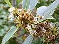 Ilex aquifolium Enfoque 2010 5 09 DehesaBoyaldePuertollano.jpg