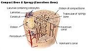 stavba lamelární kosti
