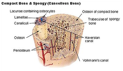 Cross-section of a long bone showing both spongy and compact osseous tissue