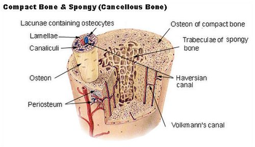 Bone Simple English Wikipedia The Free Encyclopedia