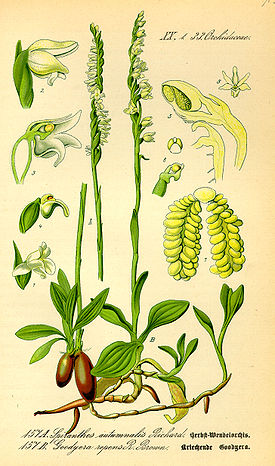 Illustration Spiranthes spiralis0.jpg