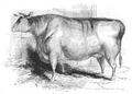 Illustrirte Zeitung (1843) 12 183 1 Kurzhörnige Färse Herrn Worthington's.PNG