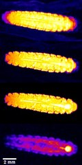 File:In-Vivo--Assessment-of-Cold-Adaptation-in-Insect-Larvae-by-Magnetic-Resonance-Imaging-and-Magnetic-pone.0003826.s001.ogv