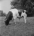 In 1938 Holland had over 1,5 million milk cows, producing on an average 1000 gal, Bestanddeelnr 935-2082.jpg